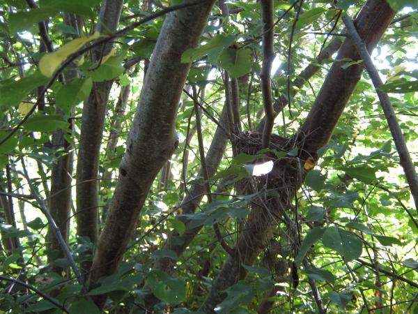 Bird nest in alder